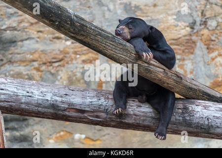 Black Bear Cub with Head Resting on Tree and Eyes Closed - Stock Photo