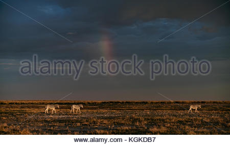 Plains zebras, Equus burchellii, walking on the dry plains early in the morning with a rainbow on the back. - Stock Photo