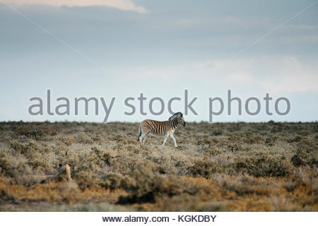 An alerted plains zebras, Equus burchellii, walking in front of a lioness, Panthera leo. - Stock Photo