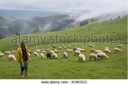 Shepherd in the mountains with flock of grazing sheep. - Stock Photo