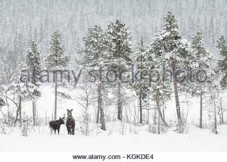 Two European elk, Alces alces, in winter landscape. - Stock Photo