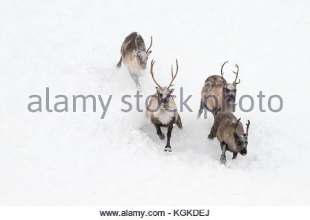 Semi-domesticated reindeer, Rangifer tarandus, running in snow. - Stock Photo