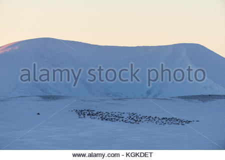Herd of Semi-domesticated Reindeer, Rangifer tarandus, rom in snow covered landscape in winter. - Stock Photo