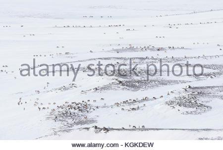 Herd of Semi-domesticated Reindeers, Rangifer tarandus, roam in snowy Landscape. - Stock Photo