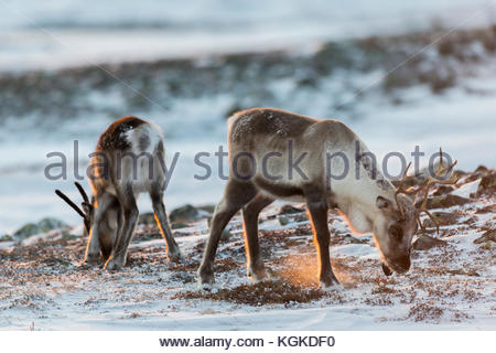 Two Semi-domesticated Reindeer, Rangifer tarandus, foraging in snow covered mountain landscape. - Stock Photo