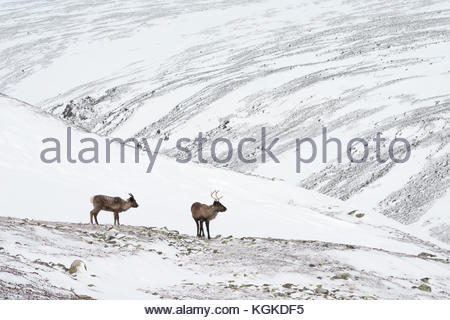 Two Semi-domesticated Reindeer, Rangifer tarandus, roaming in snow-covered landscape. - Stock Photo