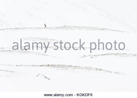 Distant view of Semi-domesticated Reindeer, Rangifer tarandus, in snow covered mountain landscape. - Stock Photo