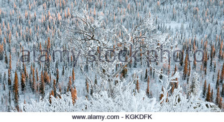 Frost and snow covered Norway spruce, Picea abies, forest. - Stock Photo