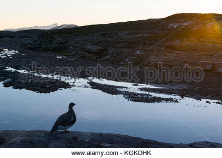 Rock ptarmigan, Lagopus muta, in late evening light by a small river. - Stock Photo
