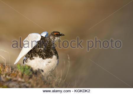 Rock Ptarmigan, Lagoupus muta, stretching it's wings. - Stock Photo