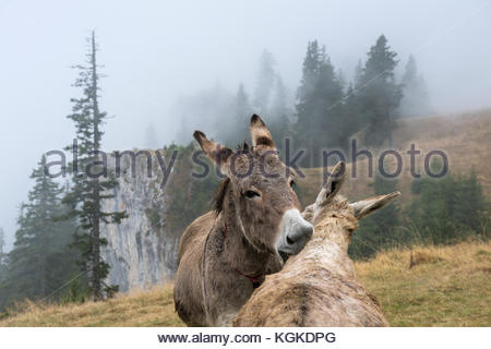 Donkeys in foggy Norway spruce forest high up in the Carpathians. - Stock Photo