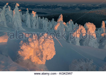 Snow and frost covered Norway spruce, Picea abies, forest in late evening light. - Stock Photo