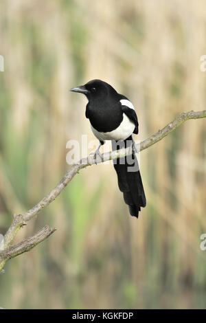 An eurasian magpie or common magpie (Pica pica) perched on a branch in a reed bed in Warwickshire in the UK - Stock Photo