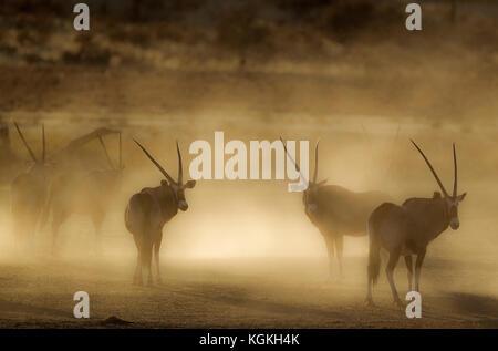 Gemsbok (Oryx gazella), nervous and raising lots of dust in the early morning, Kalahari Desert, Kgalagadi Transfrontier - Stock Photo