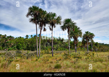typical landscape with palm trees and plants in National Park Serrania de la Macarena, La Macarena, Colombia, South - Stock Photo