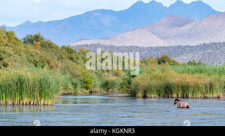 A wild horse at the Salt River in Arizona - Stock Photo
