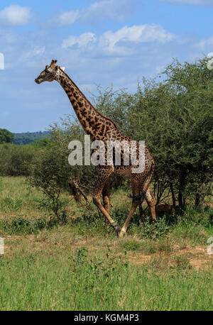 A male Masai Giraffe towering above the bushes - Stock Photo