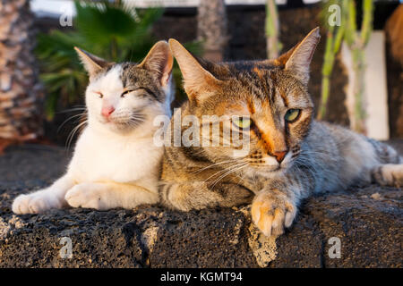 Two cats sunbathing at sunset, Puerto del Carmen. Lanzarote Island. Canary Islands Spain. Europe - Stock Photo