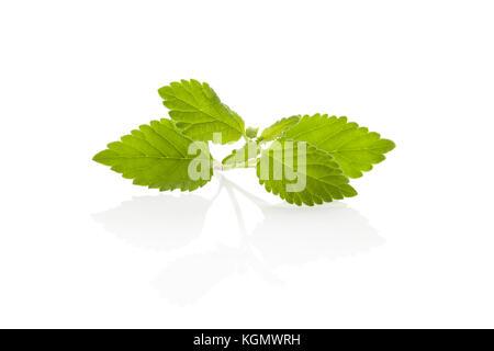 Fresh Aztec sweet herb Lippia Dulcis isolated on white background. Sugar alternative. - Stock Photo