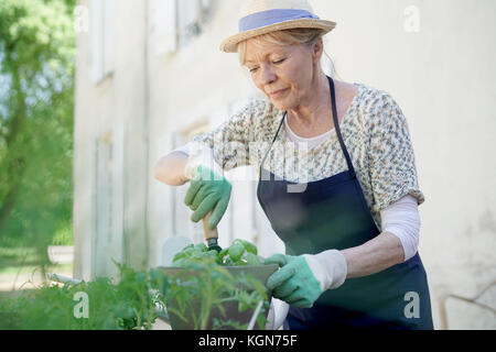 Senior woman planting aromatic herbs in pot - Stock Photo