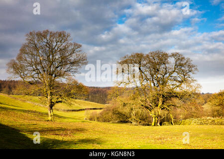 Two sunlit big winter trees almost autumnal in feel,on The Scale, between Bolton Abbey and Barden Tower on the B6160, - Stock Photo