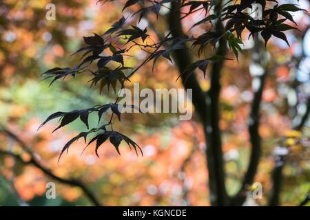 Acer palmatum 'Bloodgood'. Japanese maple 'Bloodgood' tree leaves in autumn. UK - Stock Photo