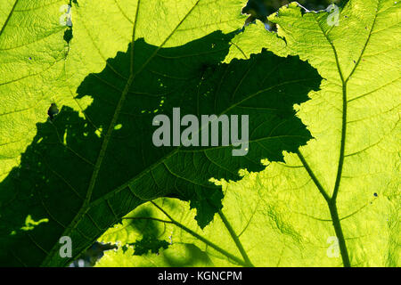 Gunnera Tinctoria. Giant rhubarb leaves with shadows in sunlight - Stock Photo