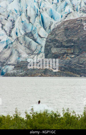 Bald eagle sitting on iceberg in front of Mendenhall Glacier. - Stock Photo