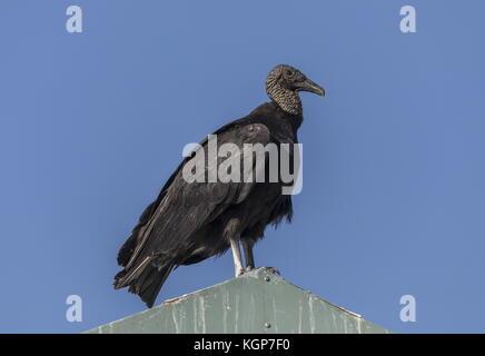 American Black vulture, Coragyps atratus, perched on roof, Everglades, Florida. - Stock Photo