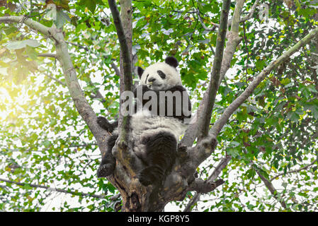 Giant Panda sits on the tree brunch and eats bamboo. - Stock Photo