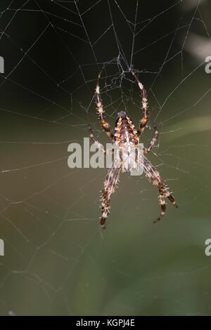 Garten-Kreuzspinne, Gartenkreuzspinne, Gemeine Kreuzspinne lauert in ihrem Netz, Radnetz, Araneus diadematus, cross - Stock Photo