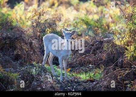Fallow deer fawn Dama dama alone in thick fern and bracken - Stock Photo