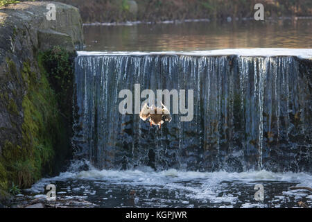Female Mallard duck Anas Platyrhynchos plunging from the top of a waterfall into a river - Stock Photo