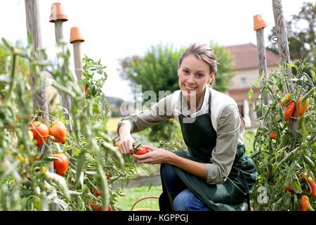 Woman in kitchen garden picking tomatoes - Stock Photo