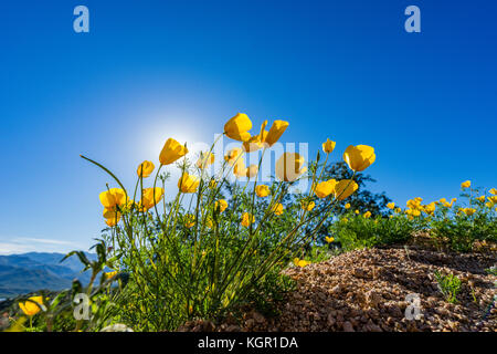 Wide angle Glowing Mexican Gold poppy blossoms in strong back light near Bartlett Lake Tonto National Forest in - Stock Photo