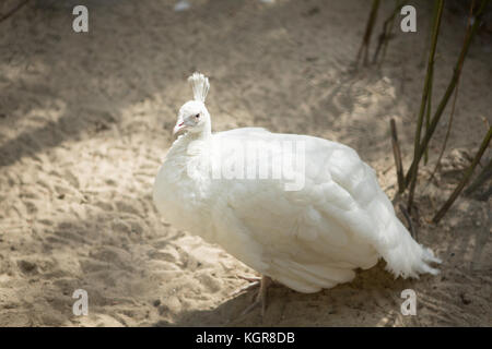 White peacock standing - Stock Photo