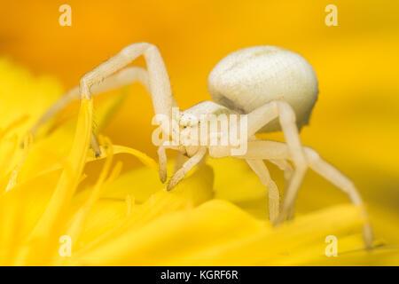 Crab Spider (Misumena vatia) waiting for prey on dandelion flower. Tipperary, Ireland - Stock Photo