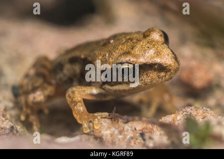 Common Froglet (Rana temporaria) resting on sandstone. Tipperary, Ireland - Stock Photo