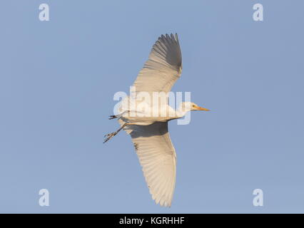 Cattle Egret, Bubulcus ibis, in flight, in the breeding season. Florida. - Stock Photo