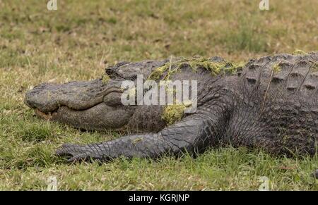 American alligator, Alligator mississippiensis, resting on the bank in Okefenokee swamp, Georgia. - Stock Photo