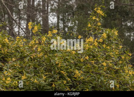 yellow jessamine or Carolina jasmine, Gelsemium sempervirens in flower in Georgia. - Stock Photo