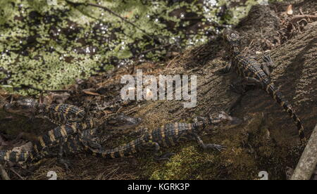 Young American alligators, Alligator mississippiensis, clustered together in 'nursery'. Florida. - Stock Photo