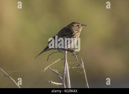 Savannah sparrow, Passerculus sandwichensis, in winter plumage, perched on waterside vegetation. Florida. - Stock Photo