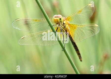 Yellow-winged darter (Sympetrum flaveolum) - Stock Photo