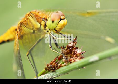 Yellow-winged darter (Sympetrum flaveolum) head detail - Stock Photo