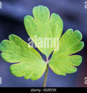 A new leaf of an aquilegia seedling. - Stock Photo