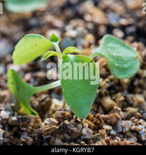 A macro shot of some young busy lizzie plants. - Stock Photo