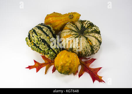 Four multi-colored gourds of yellow, orange, green and white on two colorful oak leaves - Stock Photo