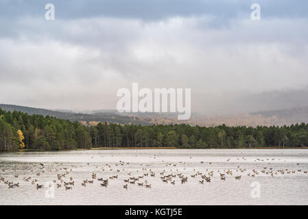 A gaggle of Greylag Geese on Loch Garten in the Highlands of Scotland. - Stock Photo