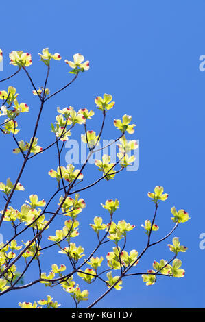 Flowering dogwood isolated isolated on clear blue sky. Rare yellow flowers with red tips, uncommon specimen. - Stock Photo